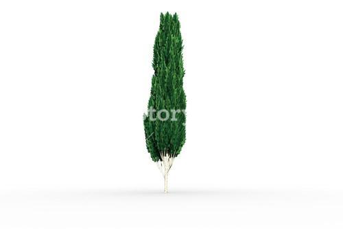 Tall tree with green foilage