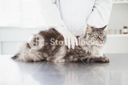 Vet examining a beautiful maine coon