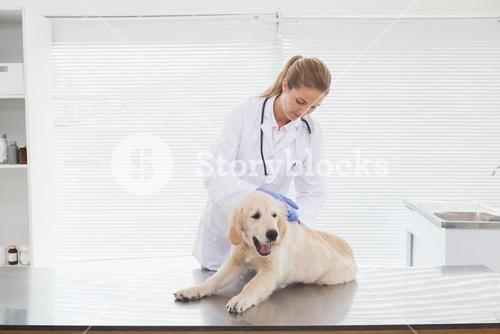 Vet giving a dog a check up