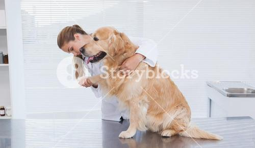 Focused vet examining a labrador