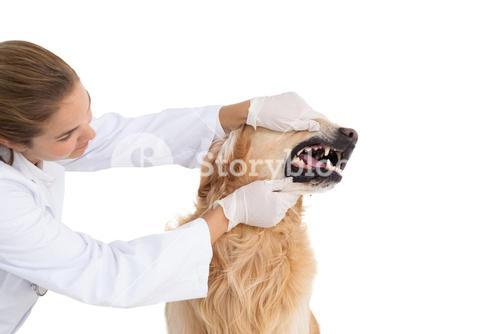 Vet checking a dogs teeth