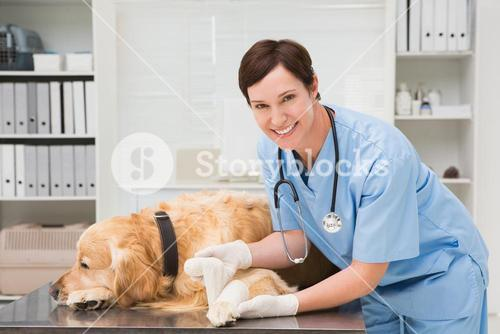 Vet doing a bandage at dog