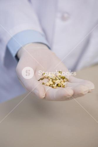 Scientist holding wheat seed