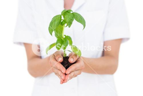 Scientist holding basil plant