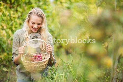 Blonde winegrower looking at a red grapes basket