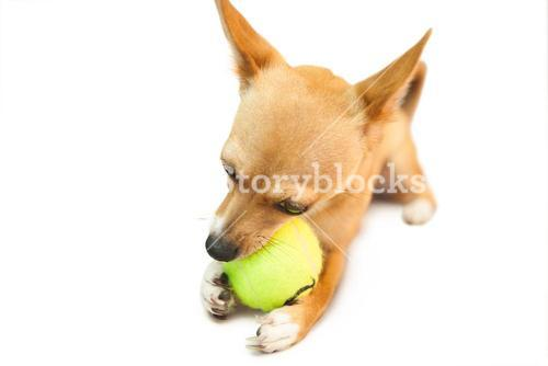 Cute little dog chewing on ball