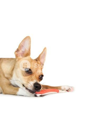 Cute dog chewing on toothbrush