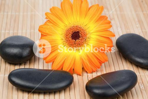 Sunflower surrounded by black stones