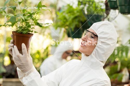 Scientist examining potted plants at greenhouse