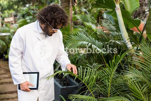 Male scientist examining plants at greenhouse