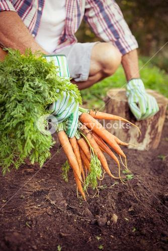 Gardener crouching with carrots at farm