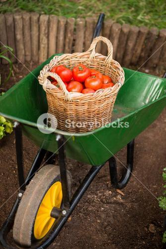 High angle view of tomatoes basket in wheelbarrow at garden