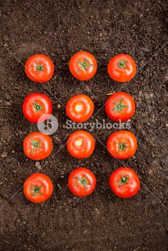 Overhead view of tomatoes on dirt at garden