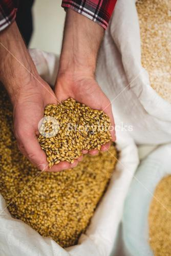 Manufacturer holding barley in brewery