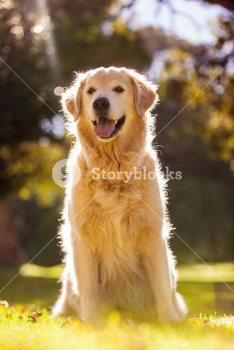 Golden Retriever sticking out tongue at park