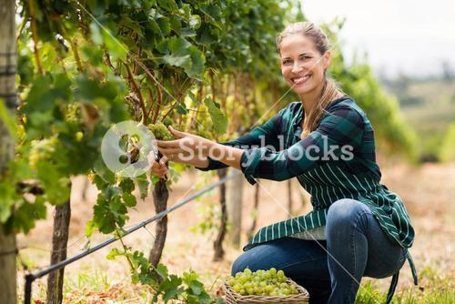 Young woman harvester working