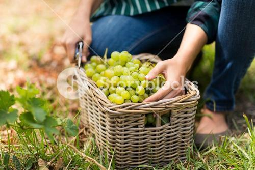Close-up of woman harvester with a basket of grapes