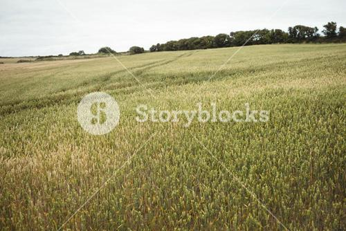 Farmer checking ears of wheat while using digital tablet in the field