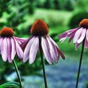 Echinacea-HD-Desktop-Wallpaper