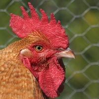 1.8m Chicken Wire Netting 0.9mm 50m 25x25mm