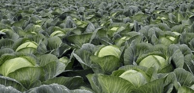 Crop Protection Products for use in Organic Field Vegetables - What are my options?