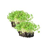 Mustard Cress (Garden Cress) x 12