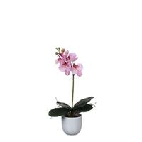 Phalaenopsis Pink in Pot Tusca White
