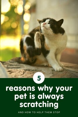 Itchy pets! 5 reasons why your pet is always scratching