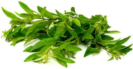 Micro Lemon Verbina