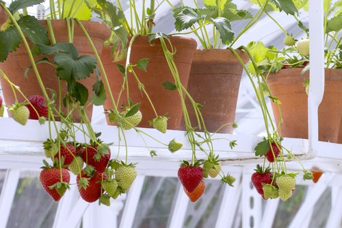 Strawberries in the glasshouses at West Dean Gardens. Image credit Trevor Sims