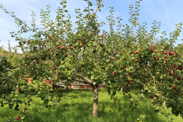 Apples in the orchard at West Dean Gardens