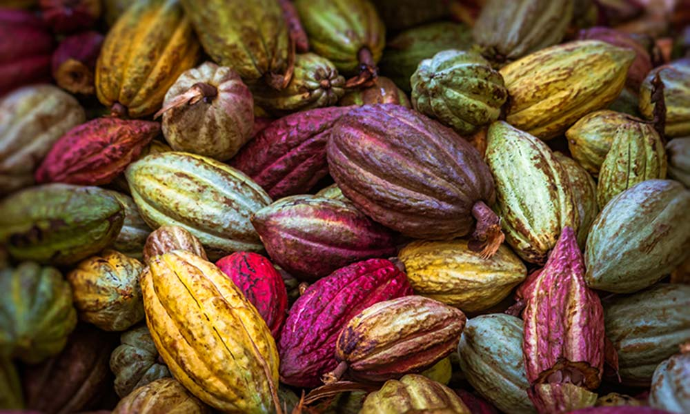 Women academics at University of Sheffield unveil cocoa research