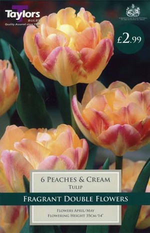TULIP PEACHES  CREAM