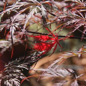Acer pal Crimson Queen Patio Japanese acers 112487 8.5L container