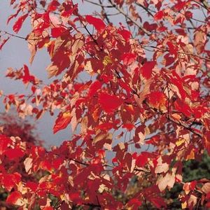 Acer rub October Glory  Maple 111185 12L container