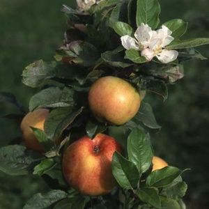 Apple (Malus) Bardsey Bush 114356 Fruit trees - container MM106