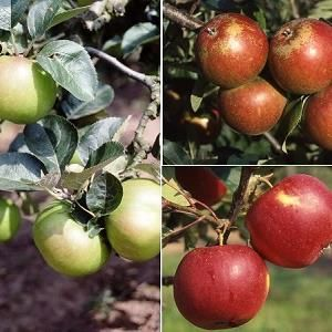 Apple (Malus) Bramley 20/Christmas P/Scrumptious(Family) Bush family  116965 Fruit trees - 12L container MM106