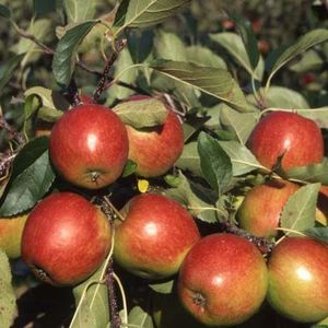Apple (Malus) Red Falstaff  Bush 108854 Fruit trees 12L container