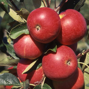 Apple (Malus) Scrumptious  Patio 108902 Fruit trees - 11.5L container M27