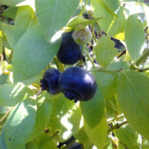 Blueberry (Vaccinium) Liberty  Bush 119420 3L container