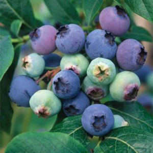 Blueberry (Vaccinium) Northland Bush 119421 3L container