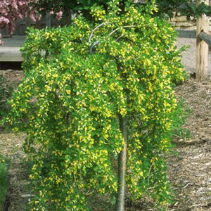 CARAGANA arbor. PENDULA  Top grafted at 120 cms . Caragana weeping 10L container