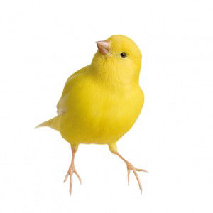 Livestock) Canary 25-00