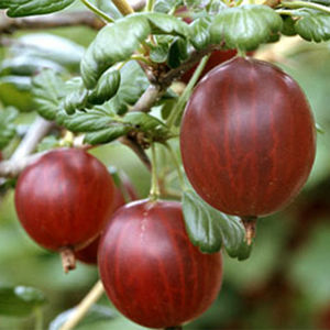 Gooseberry (Ribes) Rokula  (Red) 1/4 Standard 111349 7L container