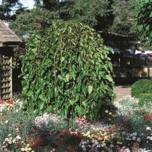 Morus alba Pendula Top Worked at 120cm Mulberry Weeping 109926 12L container