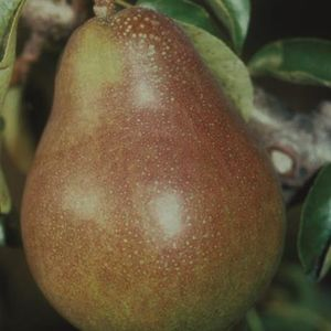 Pear (Pyrus) Doyenne du Comice Step-over 119484 12L container Quince C
