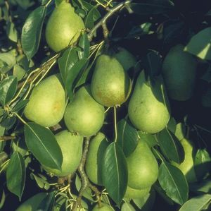 Pear (Pyrus) Invincible Delwinor Fertilia Patio 11948 11.5L container Quince Eline