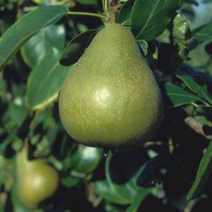 Pear (Pyrus) Williams Bon Chrtien Bush 119409 Fruit trees (bare root) Quince Eline