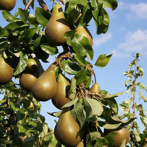 Pear (Pyrus) Conference Patio 119482 11.5L containerQuince Eline