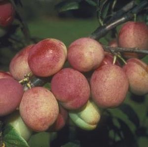 Plum (Prunus) Victoria Bush 114571 Fruit trees (VVA-1)